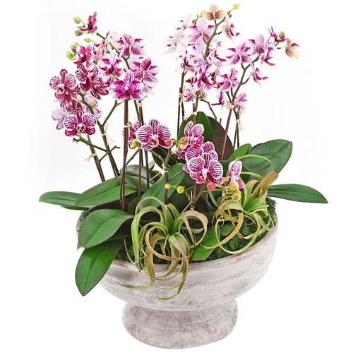Botanical Mini Pink Dendrobium Orchids